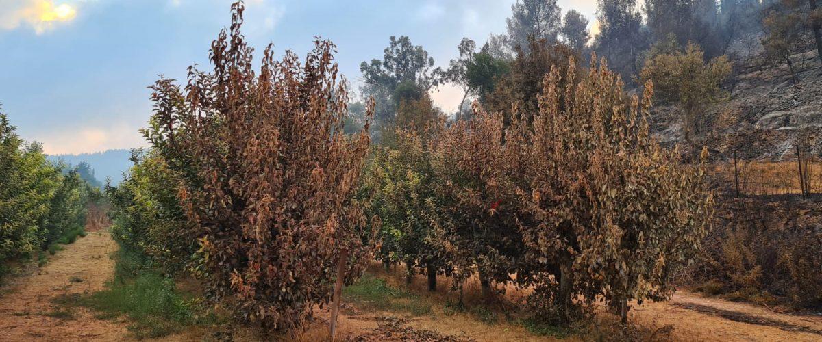 כך נראים מטעי התפוח של קיבוץ צובה לאחר השריפה השבוע (צילום: סטיב שרמן)
